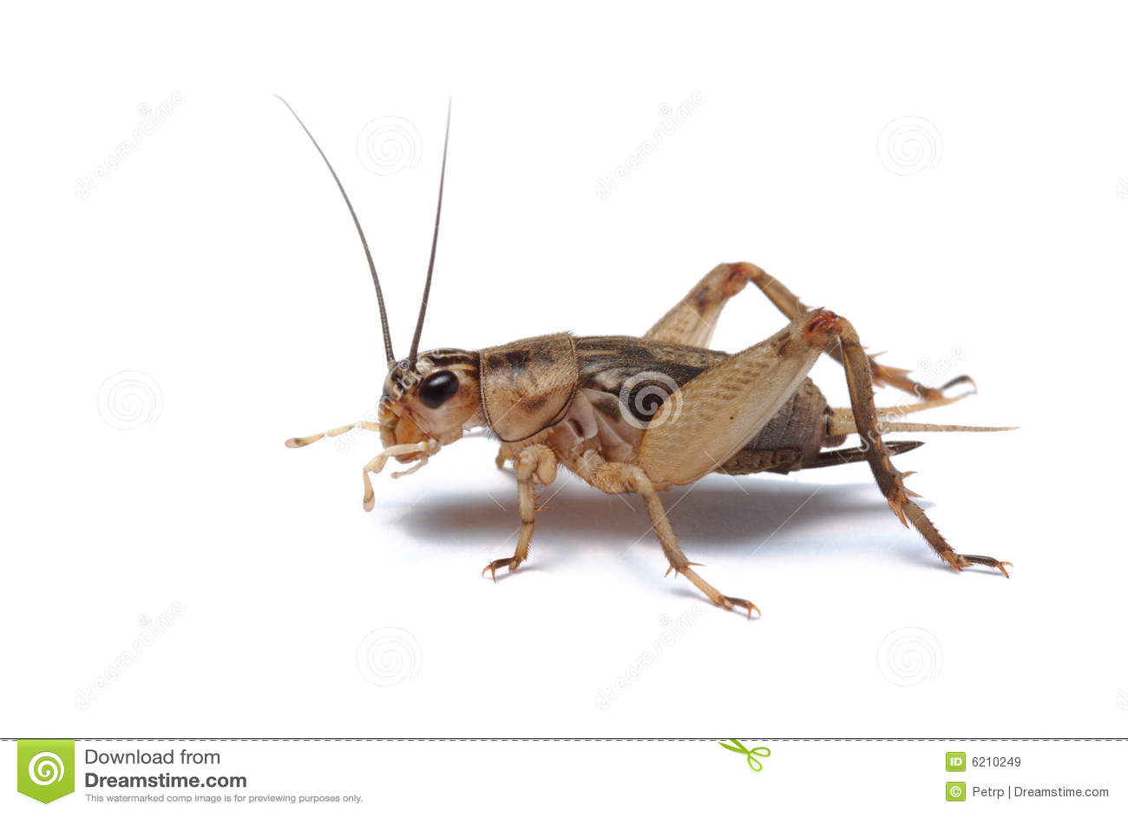 Cricket d isolement