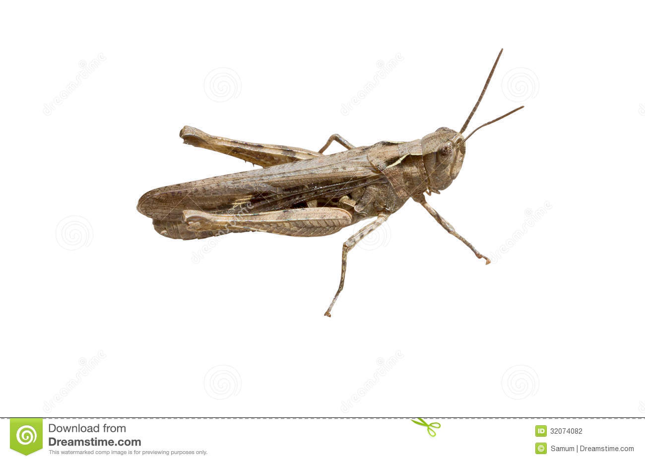 The Crimean Grey Grasshopper Stock Photography - Image: 32074082