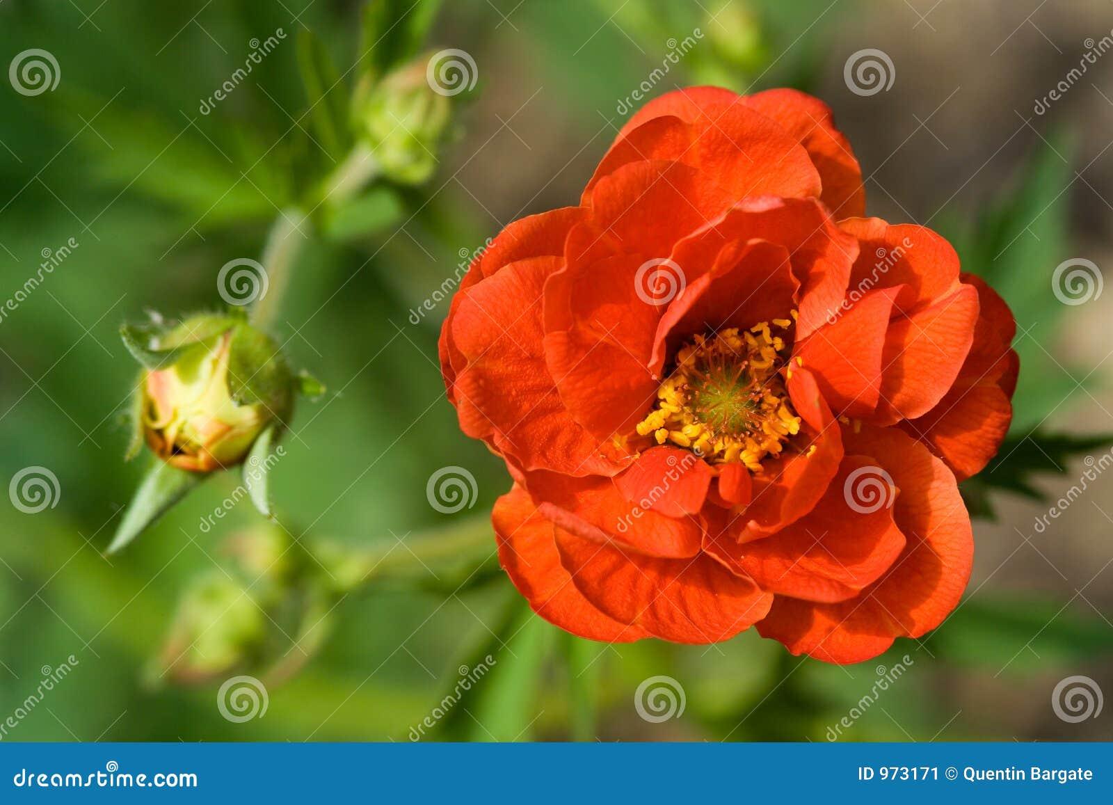 Crimson blommapotentilla