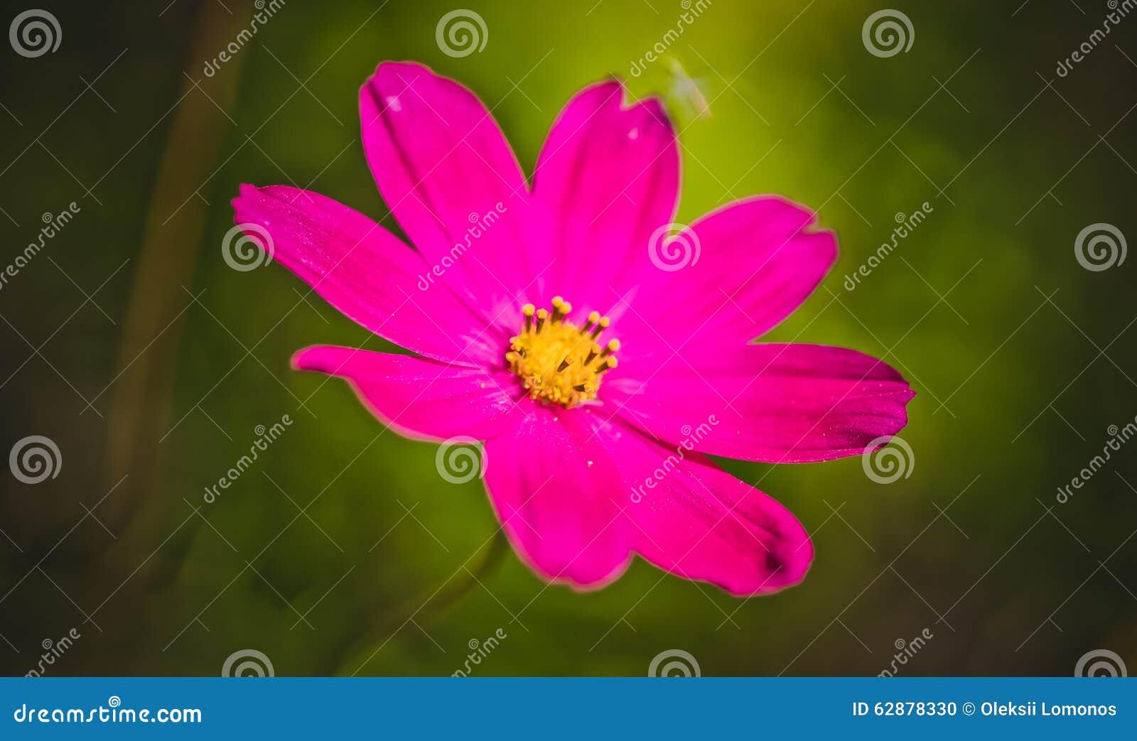 Crimson Daisy Stock Photo Image Of Like Flower Foliage 62878330