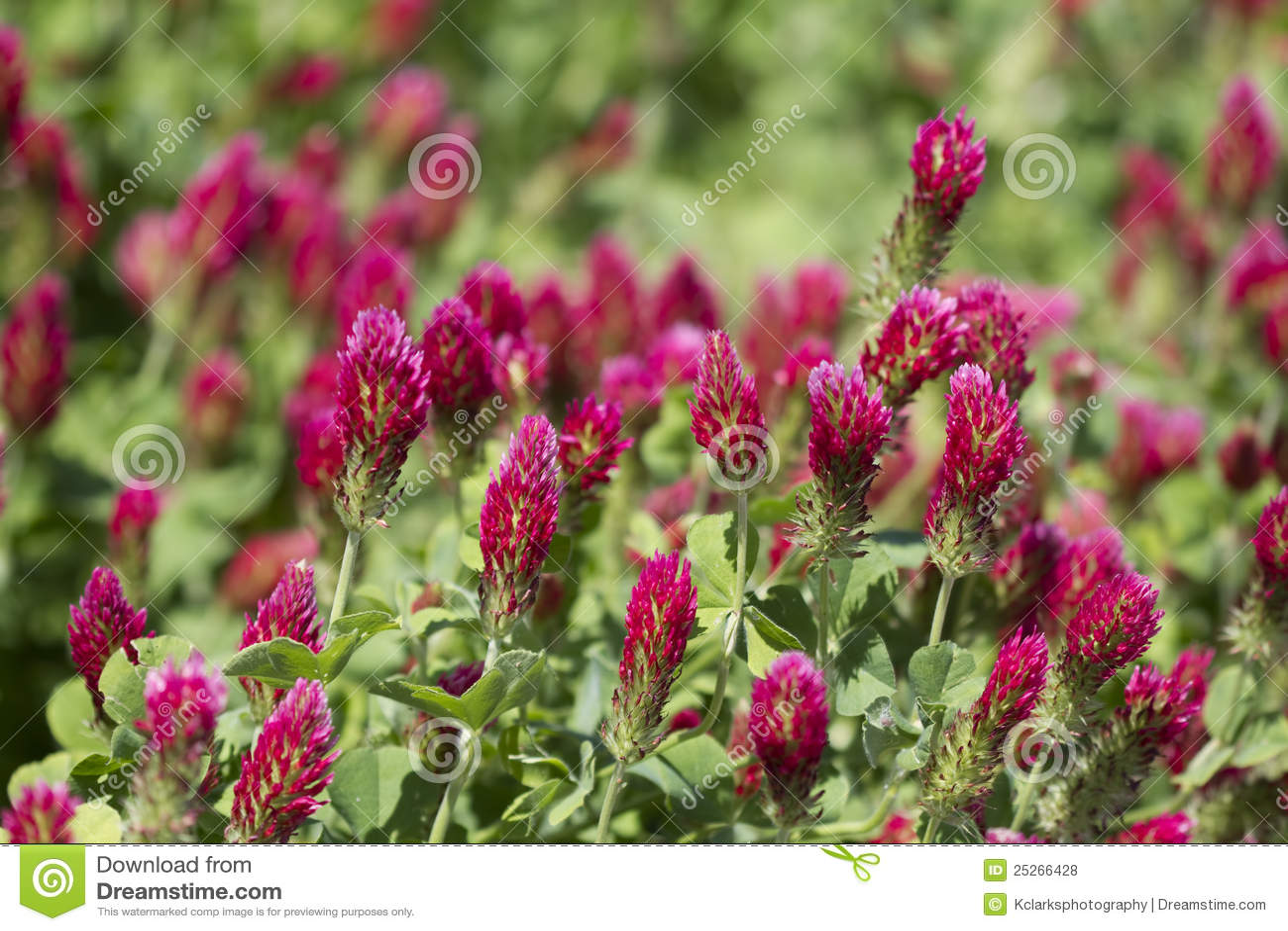 Crimson incarnatumtrifolium för ljus växt av släkten Trifolium