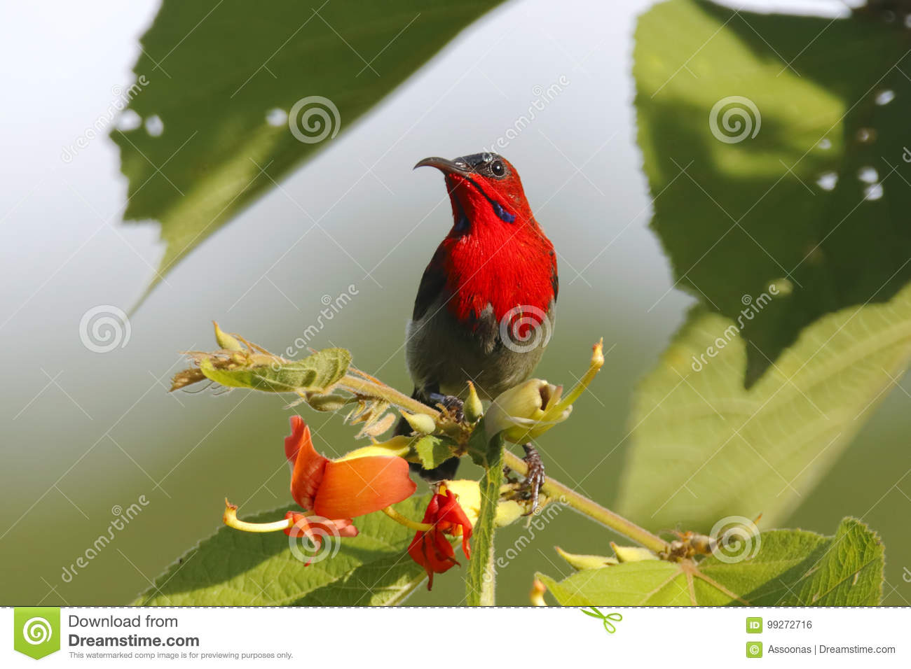 Crimson Sunbird Aethopyga siparaja Male Beautiful Birds of Thailand