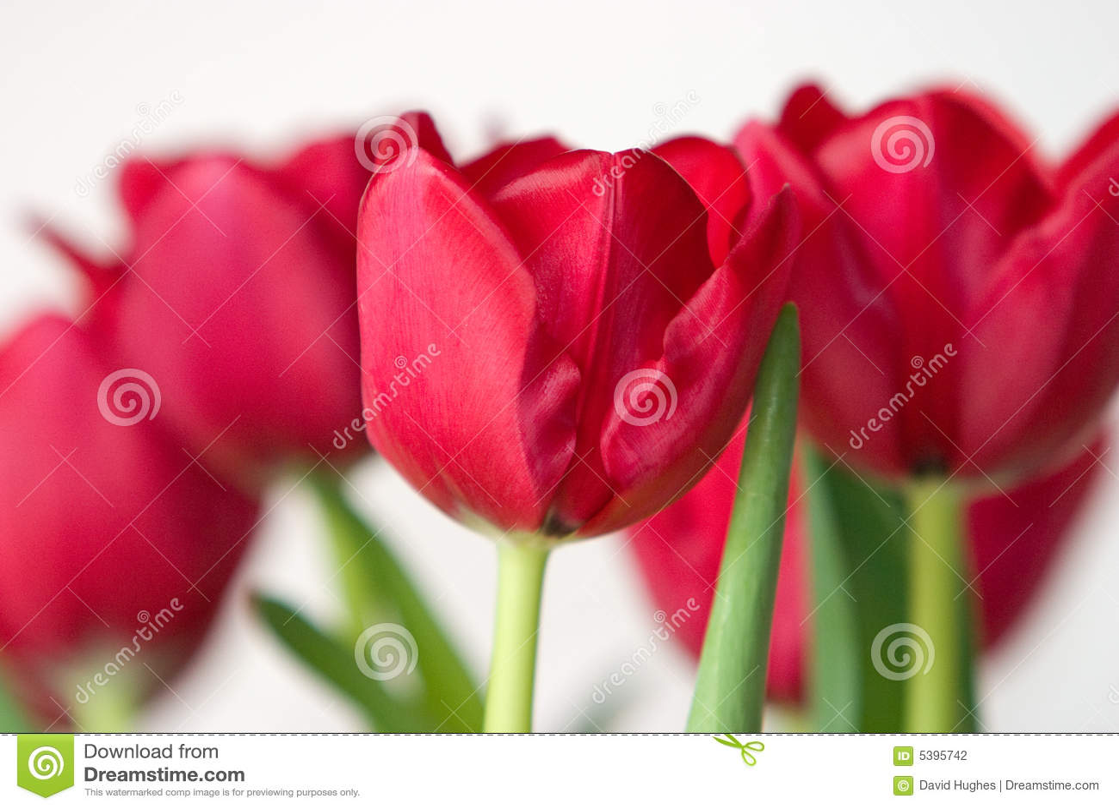 Crimson tulpan