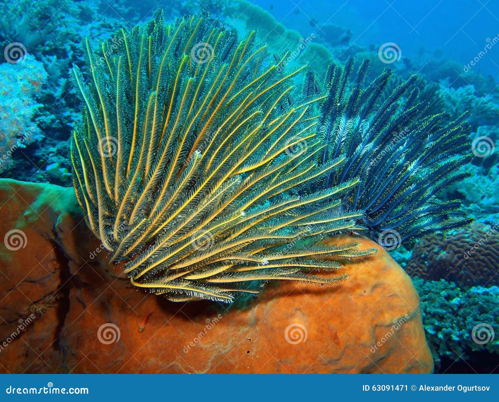 Download Crinoid image stock. Image du corail, sous, monde, marin - 63091471