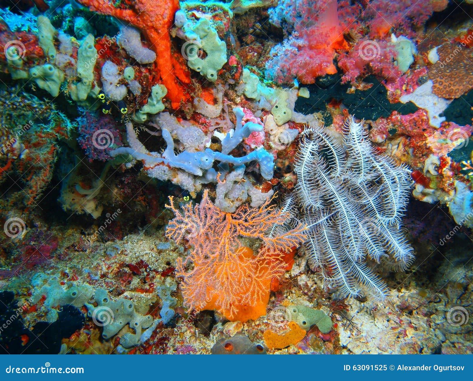 Download Crinoid image stock. Image du corail, océan, marin, île - 63091525