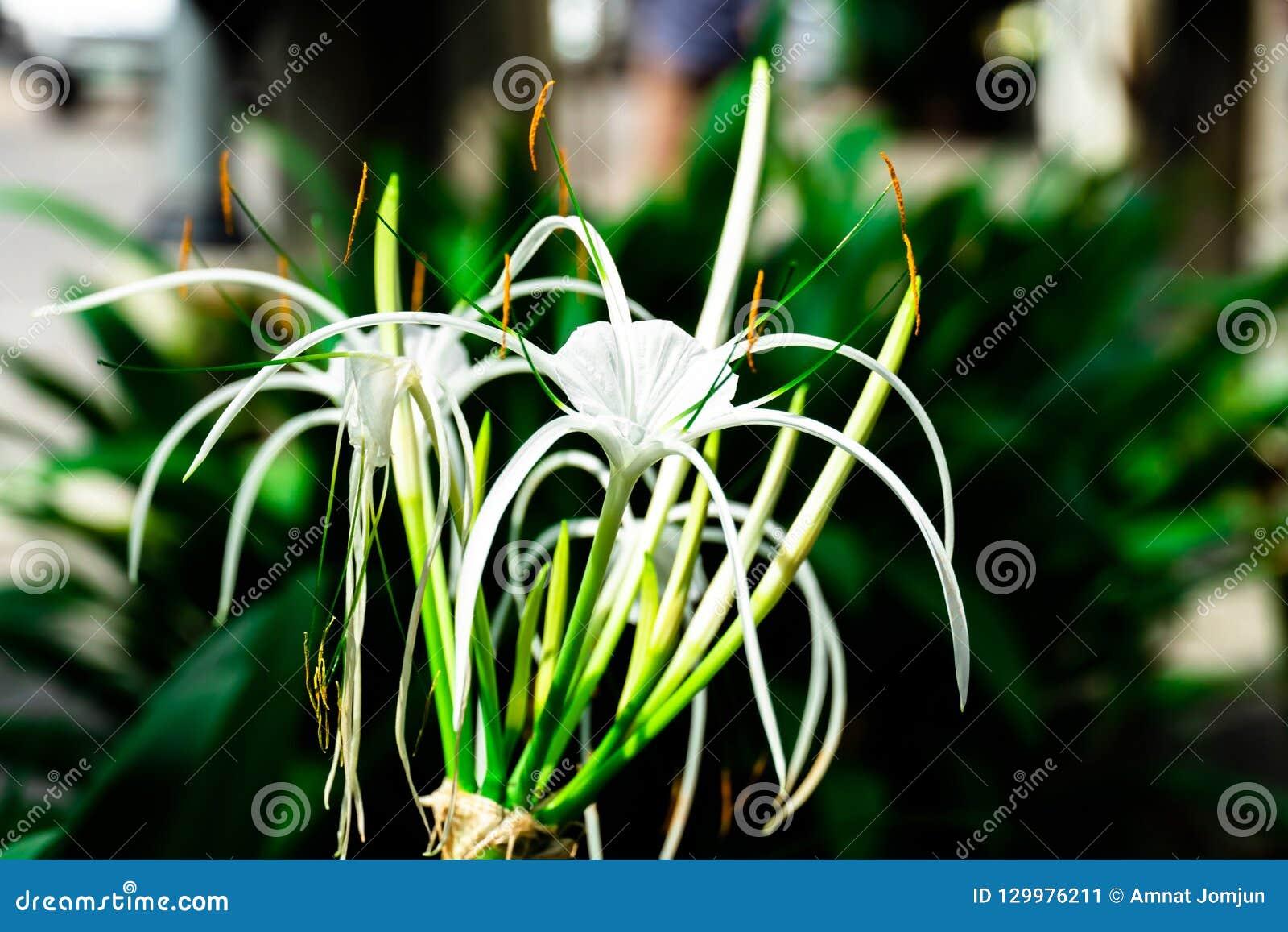 Crinum asiaticum花在庭院里