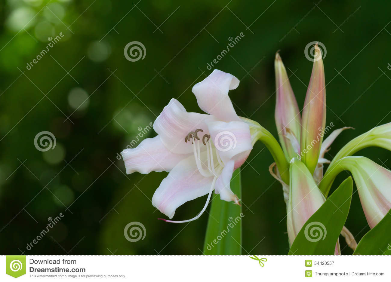 crinum lily cape lily poison bulb or spider lily stock image