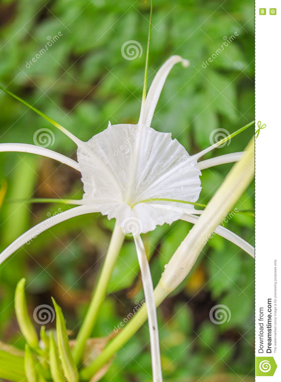 crinum lily cape lily poison bulb spider lily flowers stock image