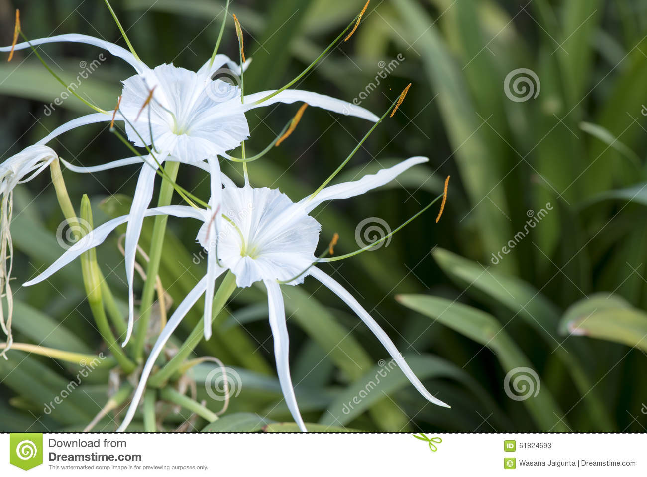 crinum lily cape lily poison bulb spider lily stock image
