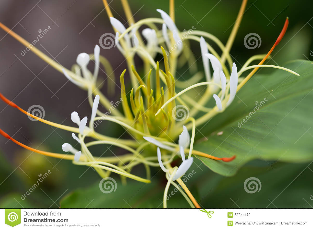 crinum lily or cape lily poison bulb spider lily in macro stock