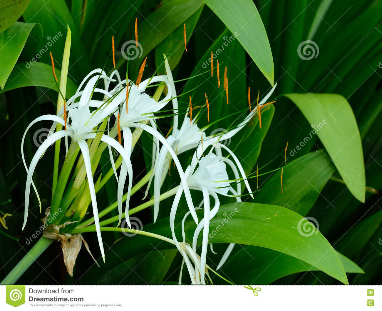 crinum lily cape lily spider lily poison bulb stock photo image