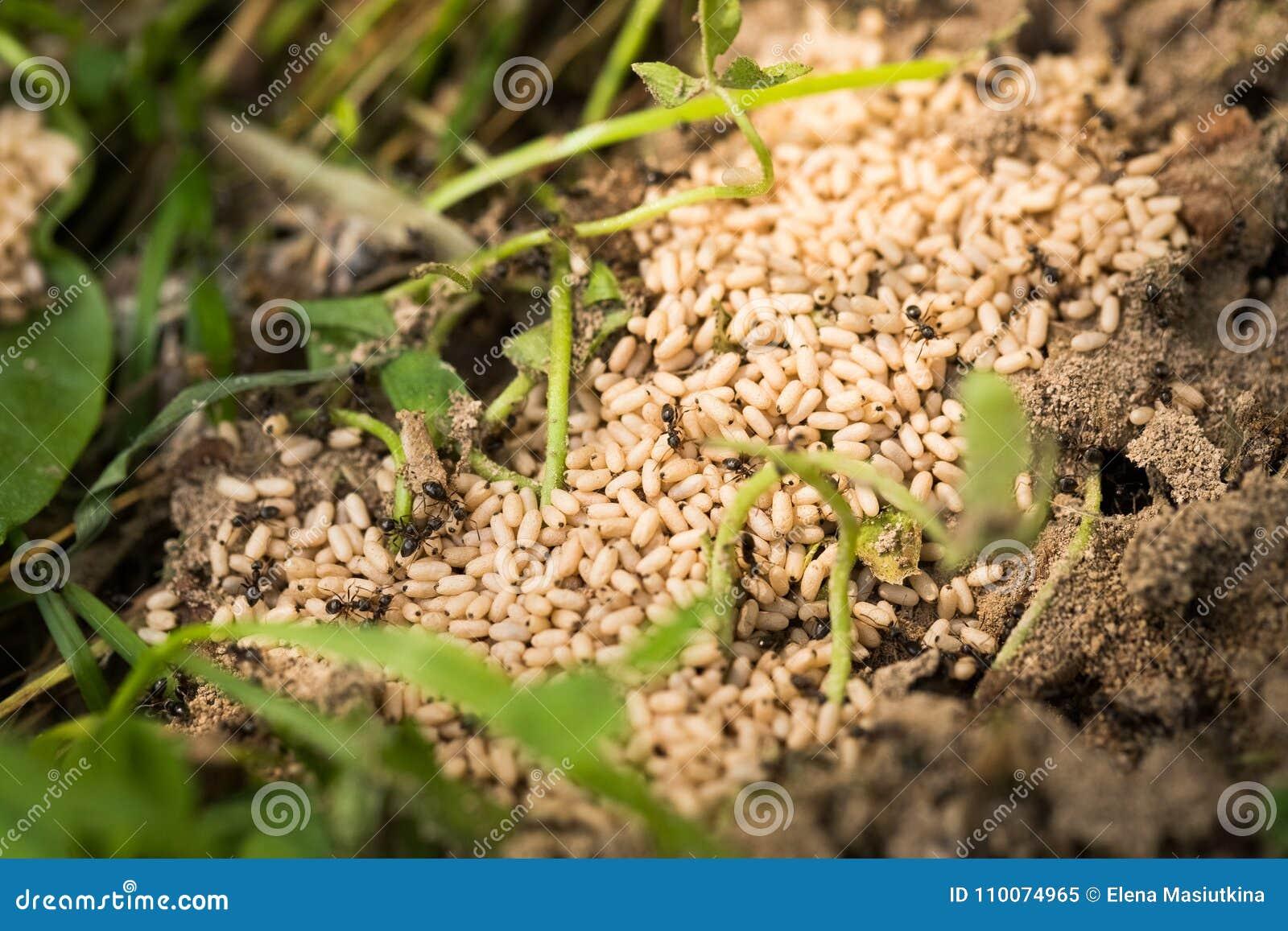 Crisálida De Las Hormigas De Los Huevos En Verano Del Jardín Imagen ...