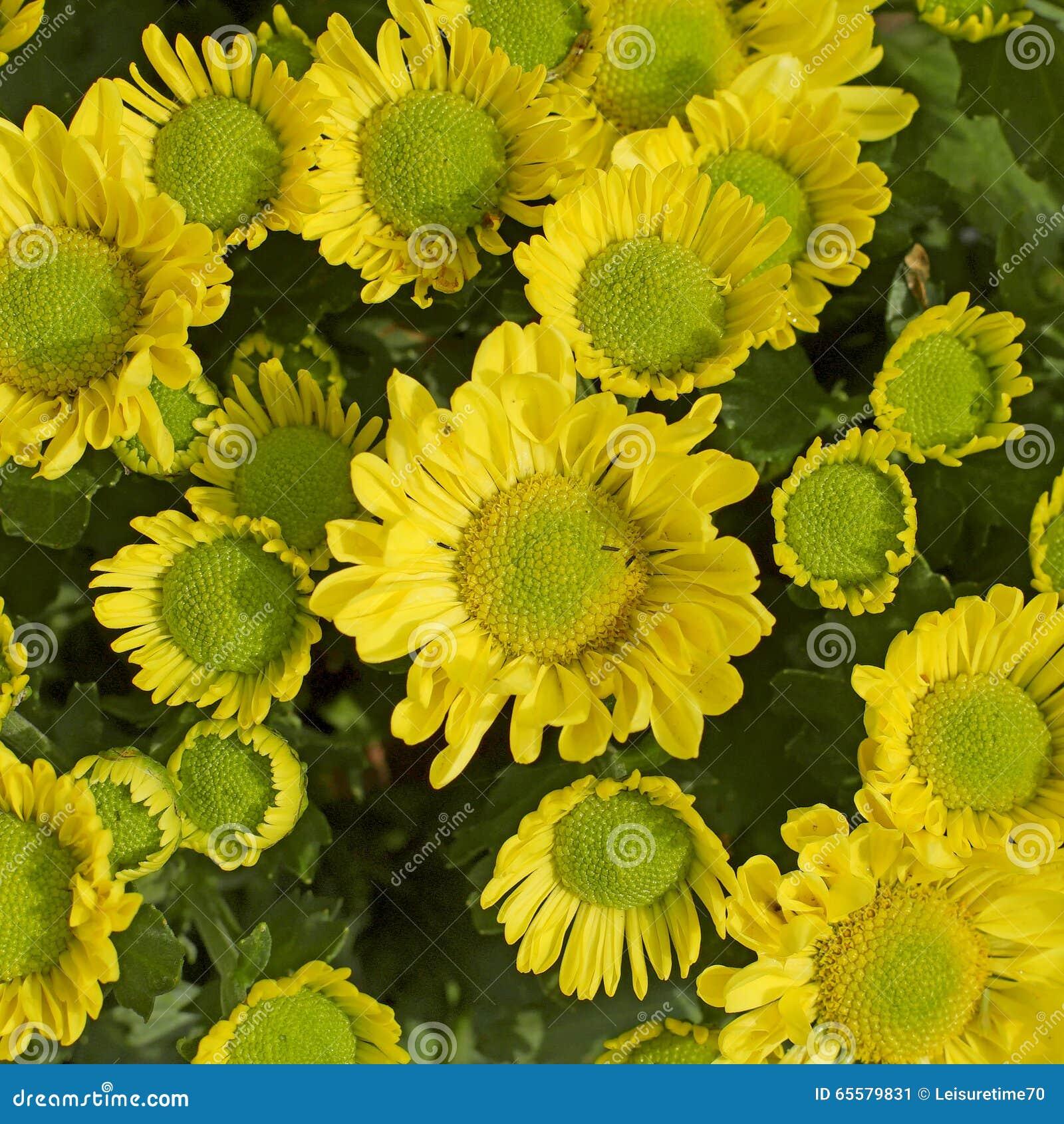 Crisântemo amarelo bonito