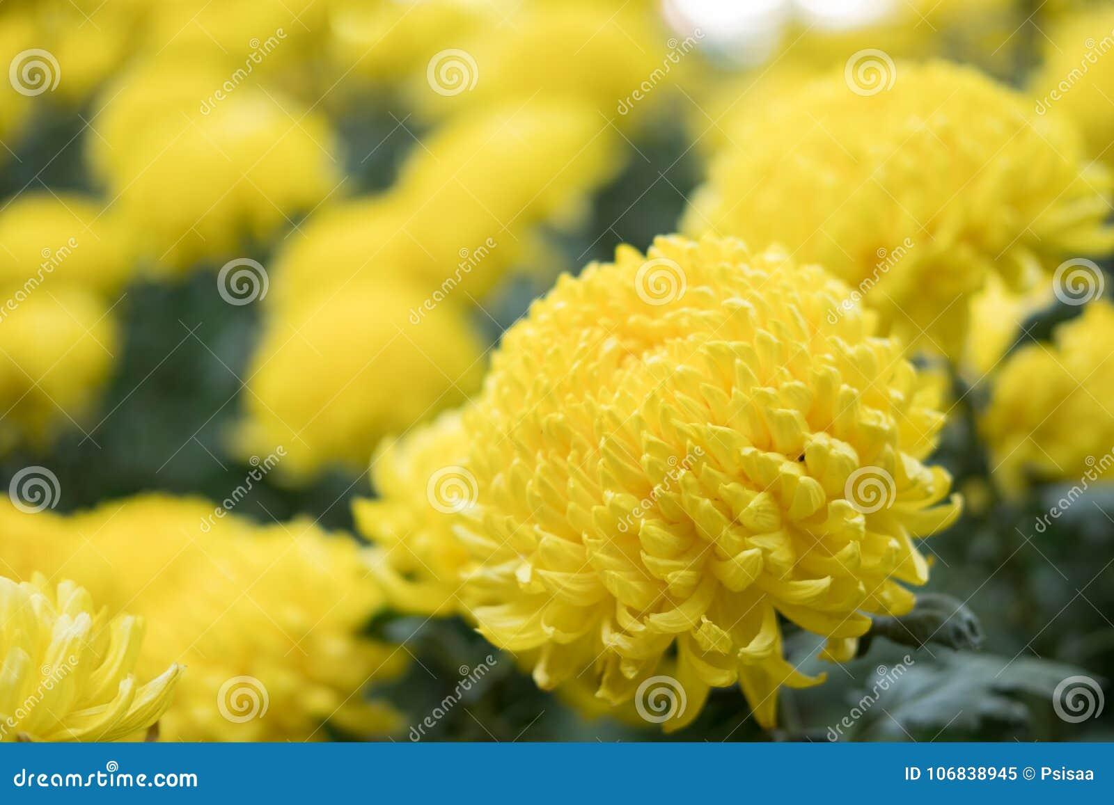 Crisântemo amarelo flor de florescência do áster no jardim fie da flora