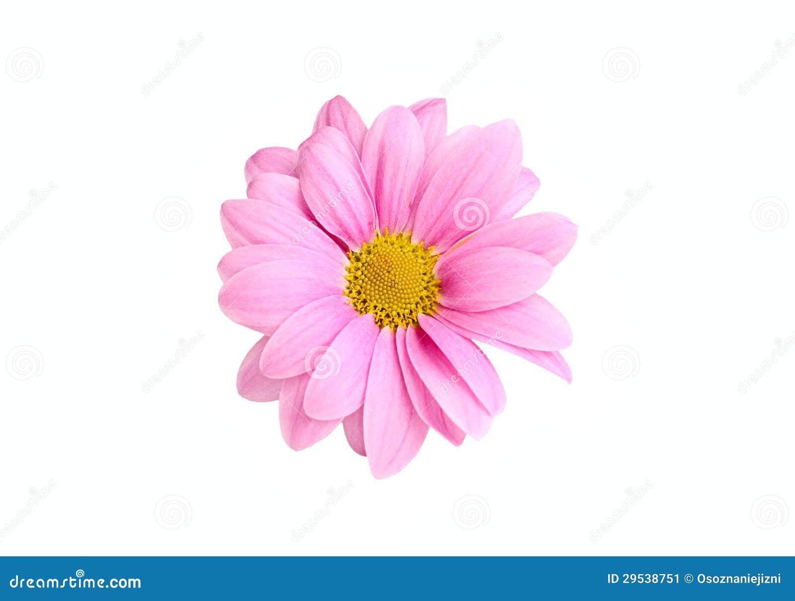 Crisântemo cor-de-rosa