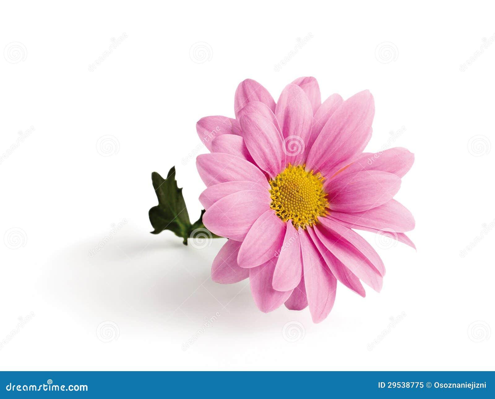 Crisântemo cor-de-rosa em um ramo