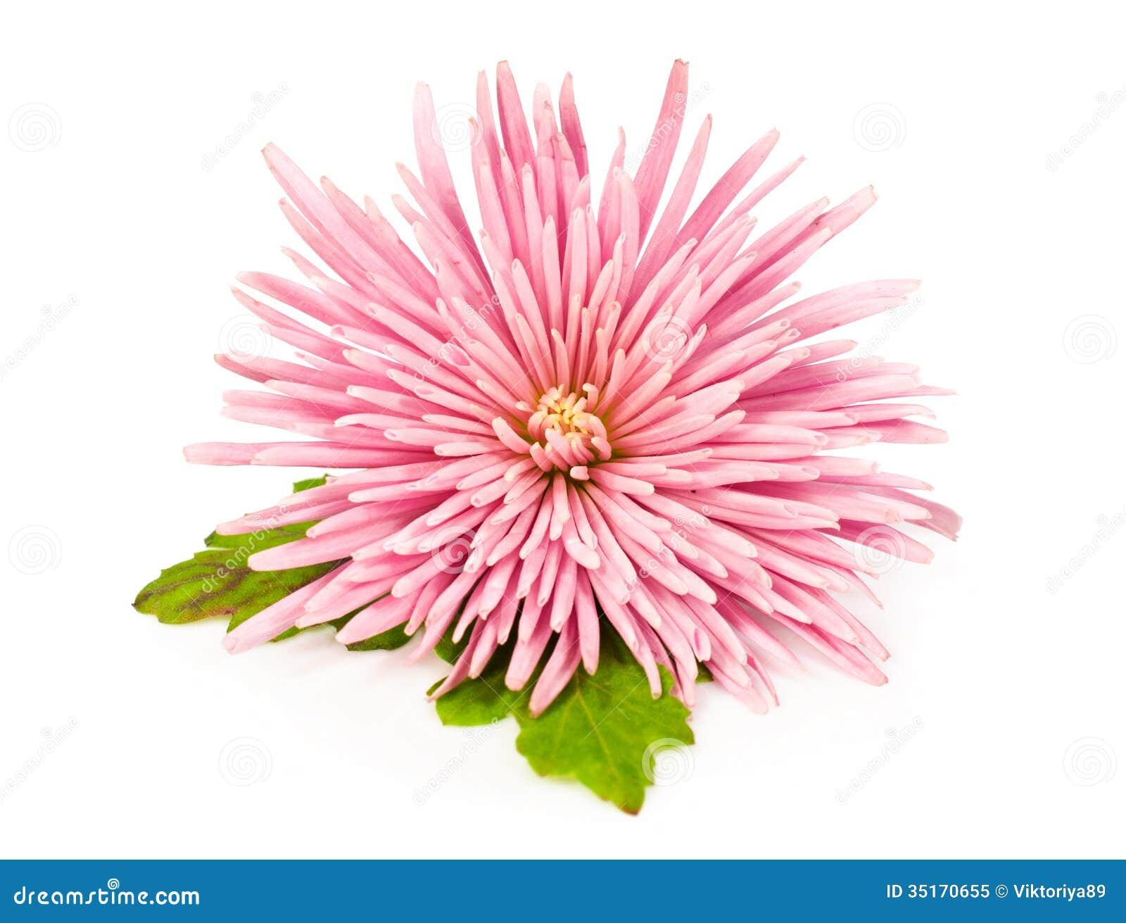 Crisântemo cor-de-rosa sobre o branco