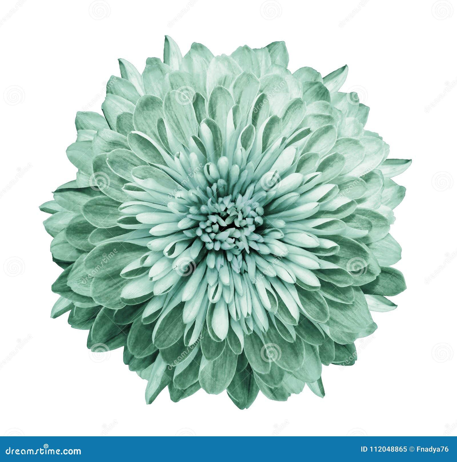 Crisântemo turquesa-verde Floresça no fundo branco isolado com o trajeto de grampeamento sem sombras Close-up Para o projeto