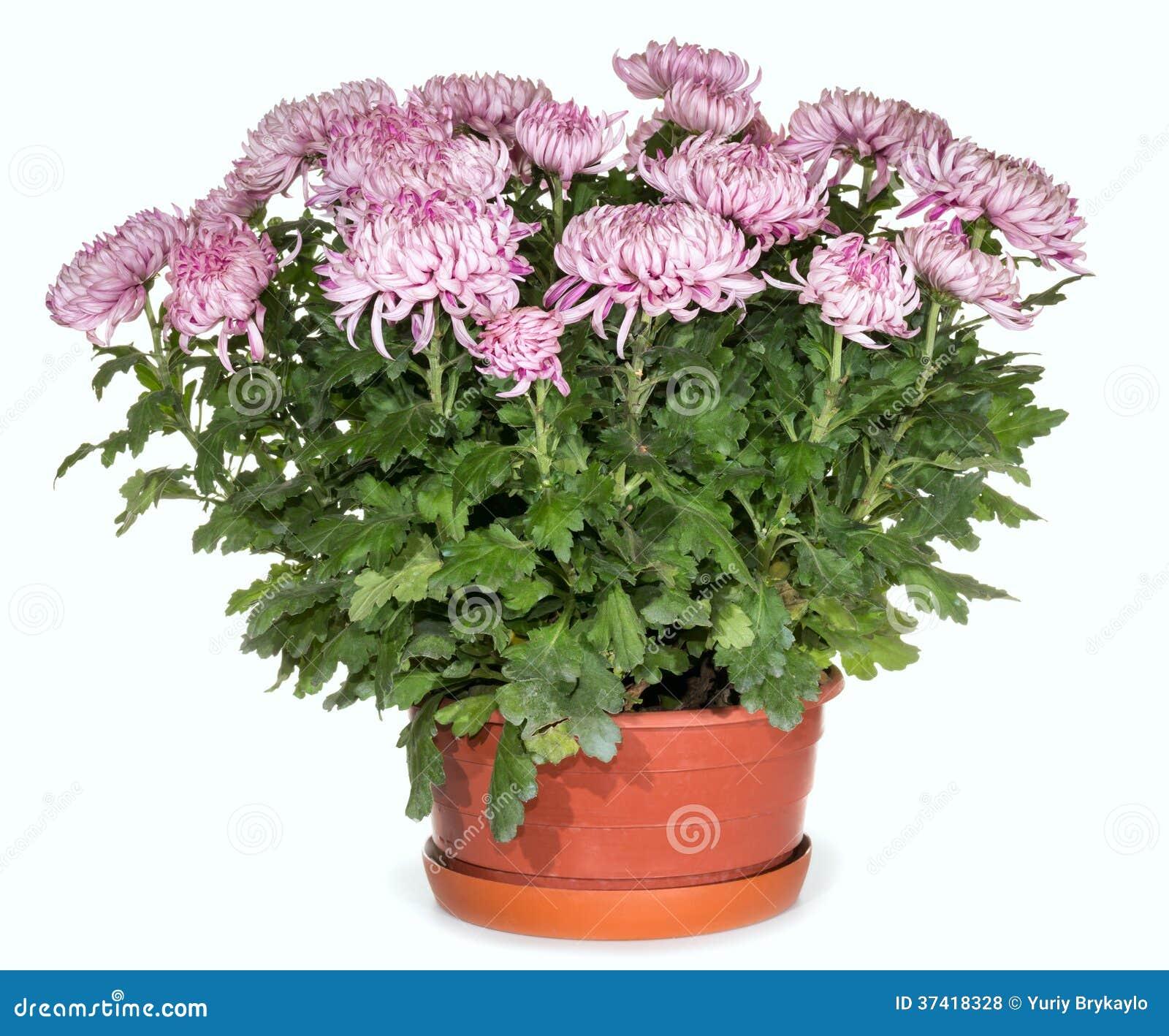 crisantemi in vaso da fiori fotografie stock libere da