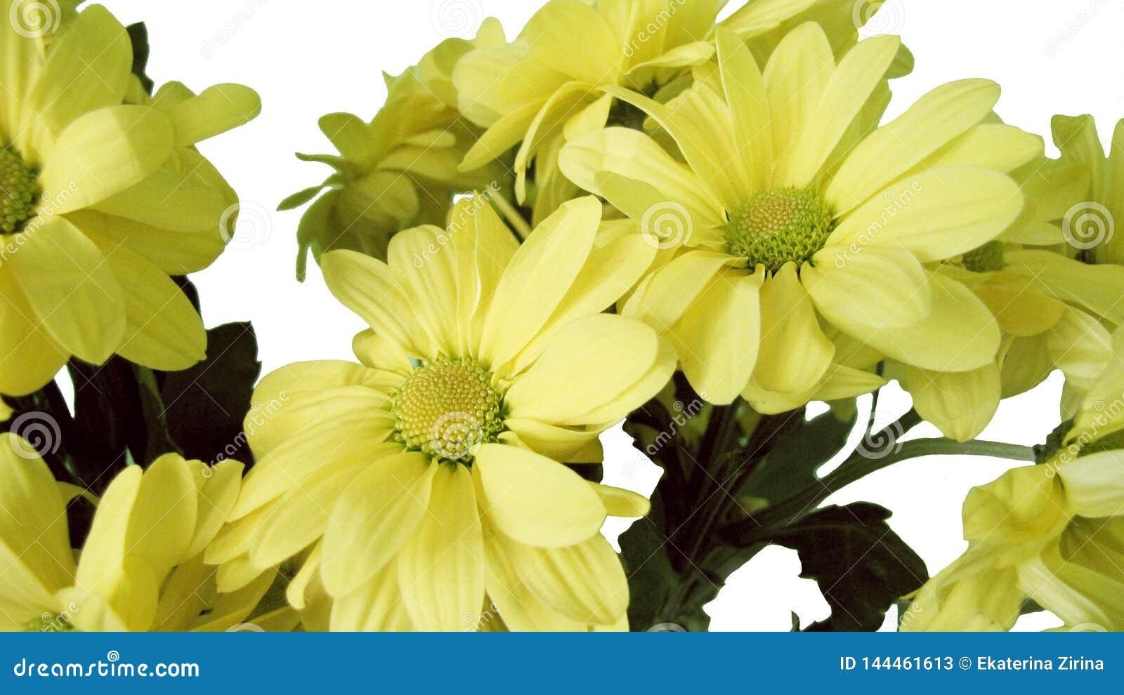 Crisantemo amarillo en el fondo blanco, brote aislado