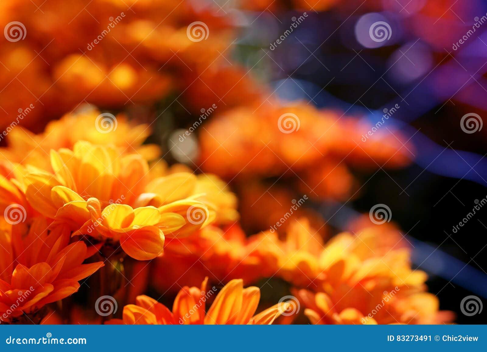 Crisantemo arancio vivo nel fondo di agricoltura del giardino floreale