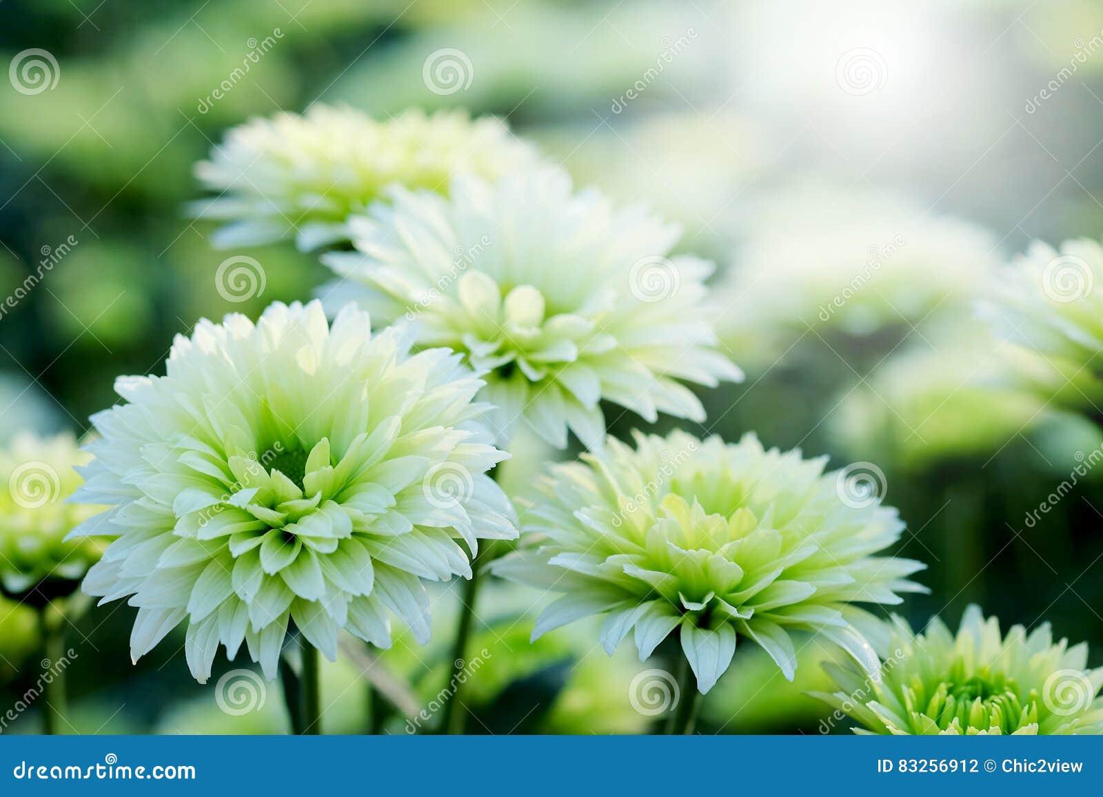 Crisantemo bianco nel fondo di agricoltura del giardino floreale con il fuoco molle