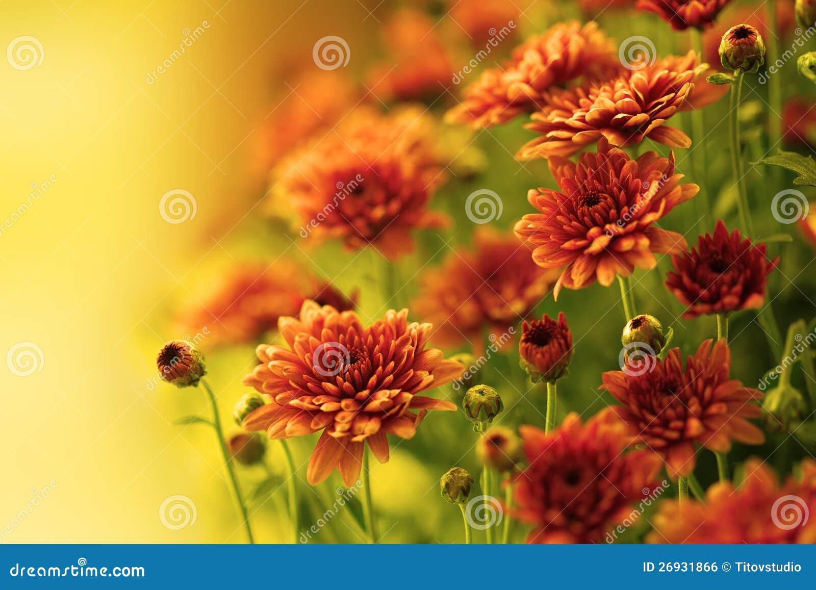 Crisantemo d autunno variopinto