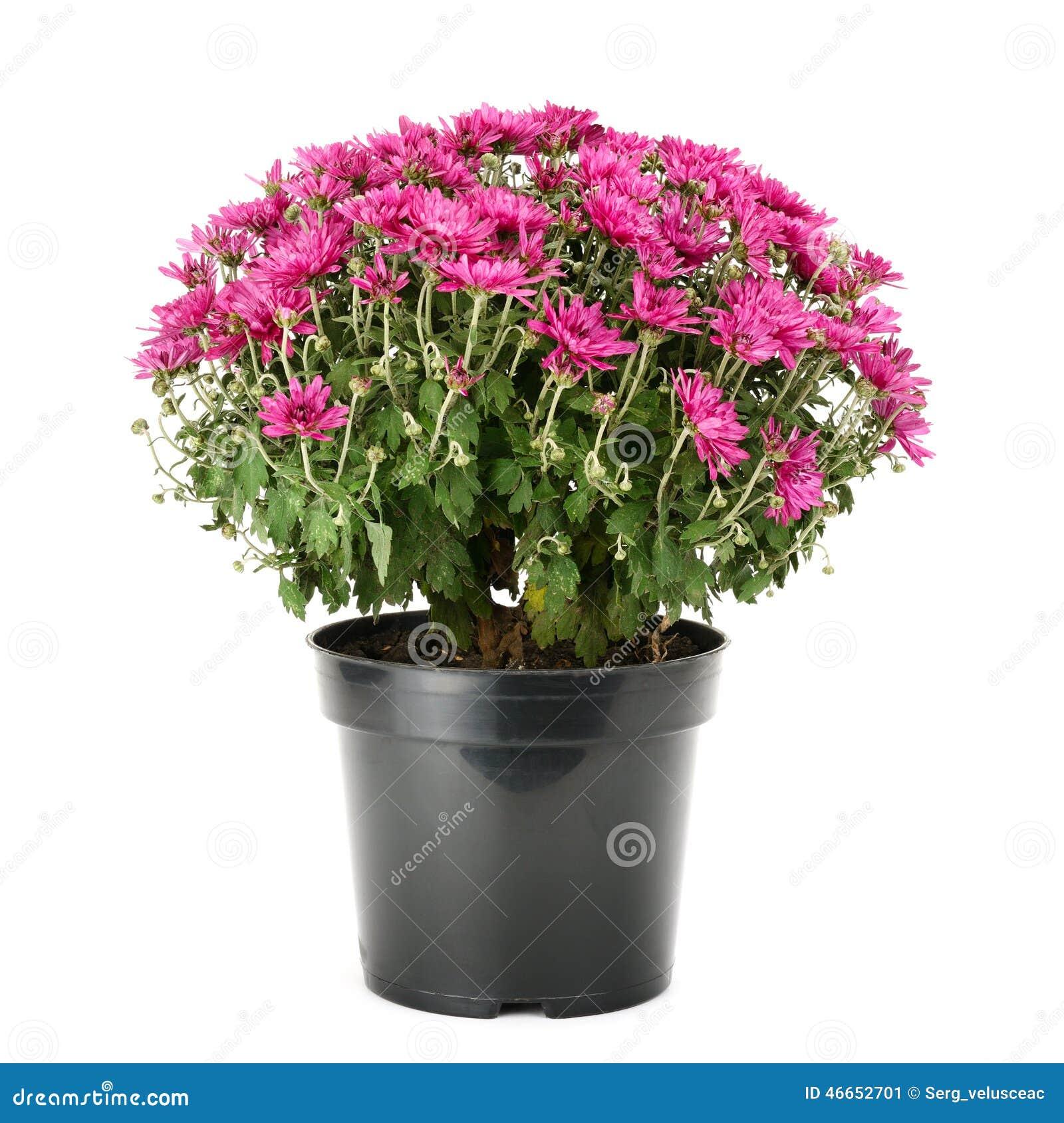 Crisantemo di fioritura in vaso da fiori immagine stock - Fiori da vaso perenni ...
