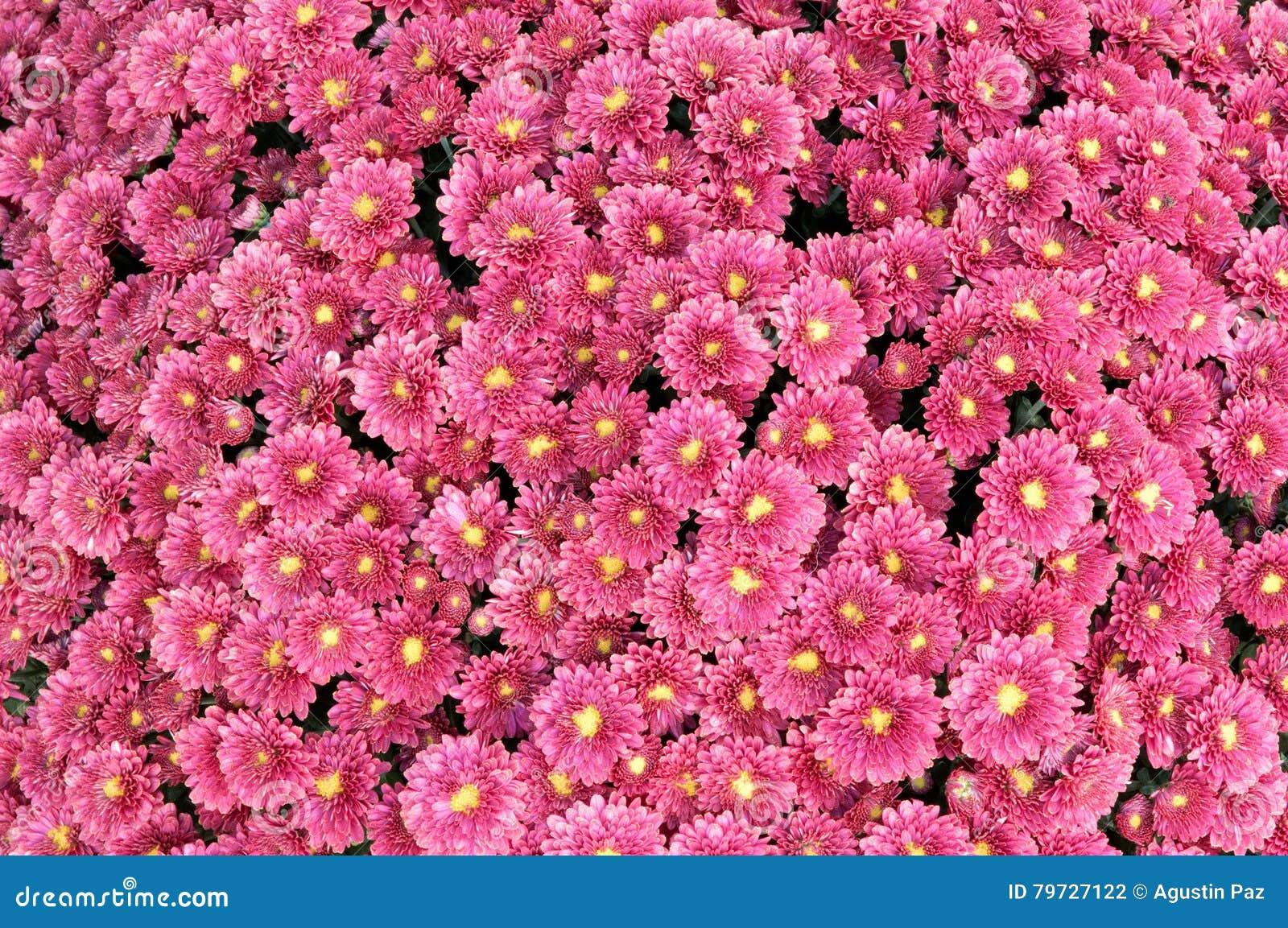 Crisantemo púrpura