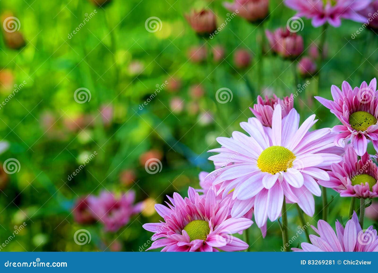 Crisantemo porpora nel fondo di agricoltura del giardino floreale con il fuoco molle