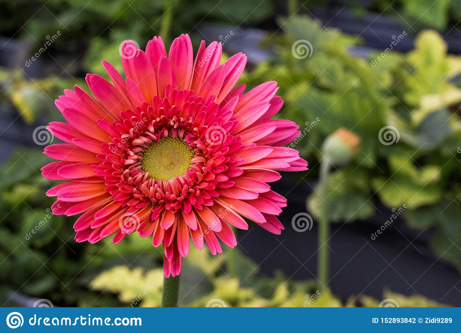 Crisantemo rosado virginal
