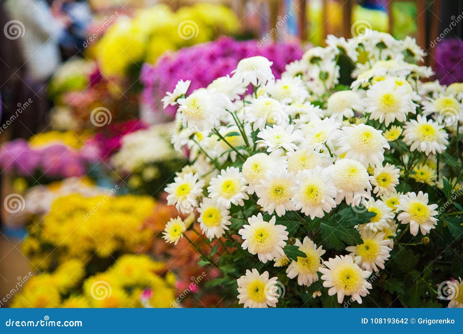 Crisantemo variopinto da vendere
