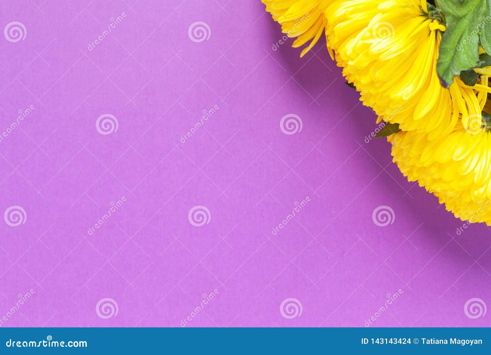 Crisantemos amarillos vibrantes en fondo púrpura del azafrán de la primavera Endecha plana horizontal Maqueta con el espacio de l