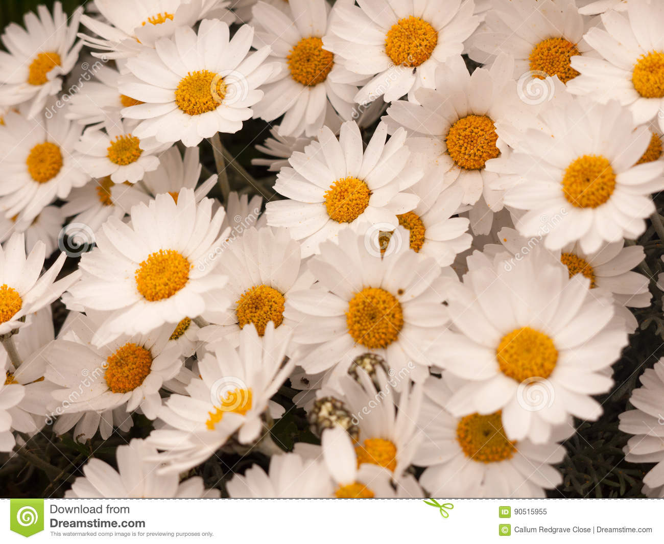 Crisp White And Orange Daisy Flower Heads Bunched Together In Th