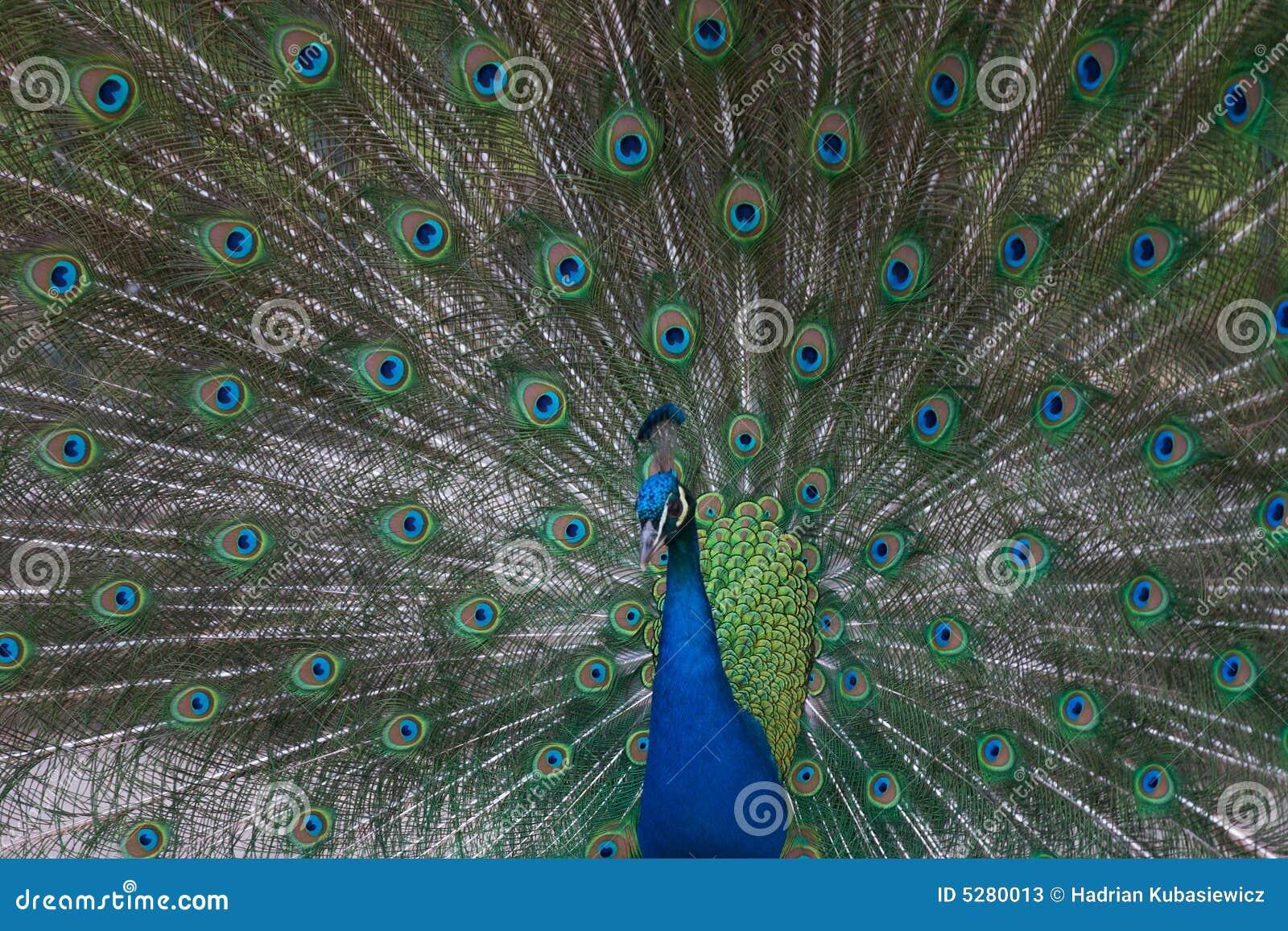 Cristat επενδύει με φτερά Ινδό το pavo του peacock εμφανίζοντας