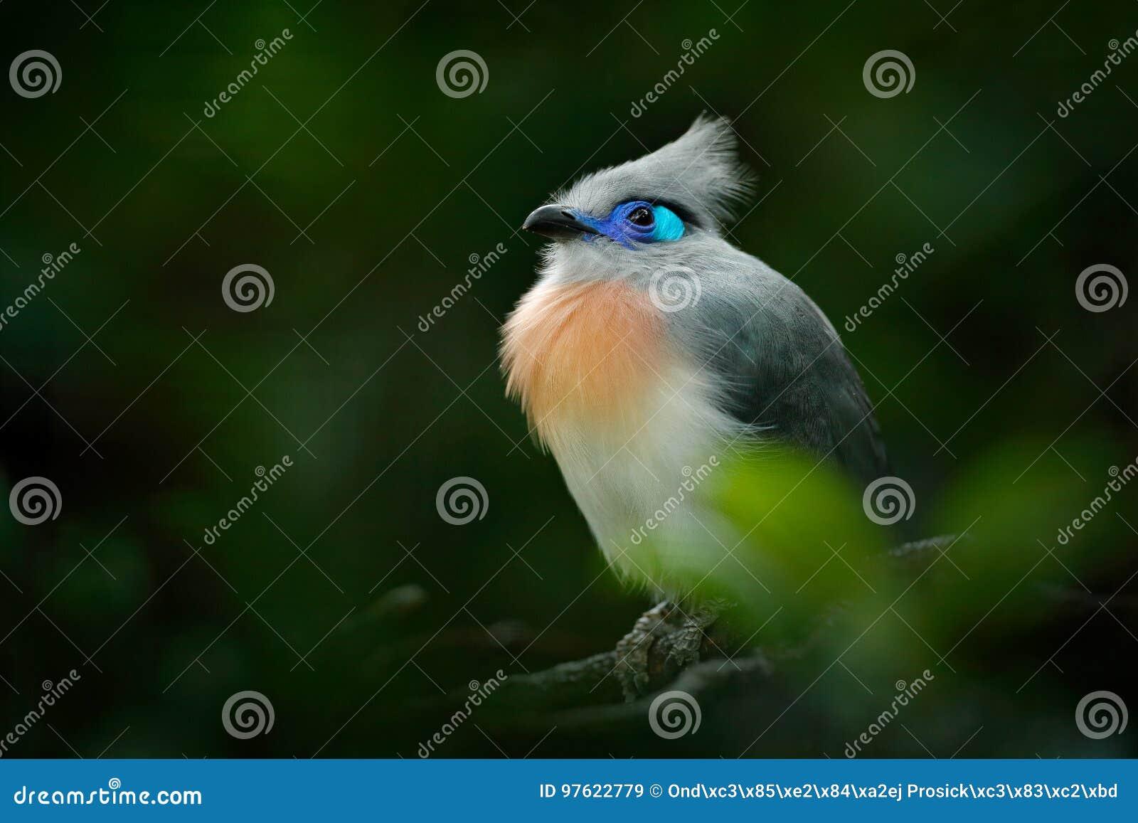 Cristata com crista de Couna, de Coua, pássaro cinzento e azul raro com crista, no habitat da natureza Couca que senta-se no ramo