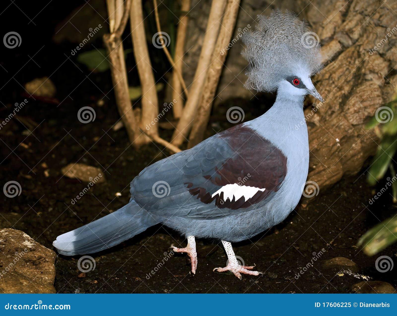 Cristata koronowany goura gołębia western