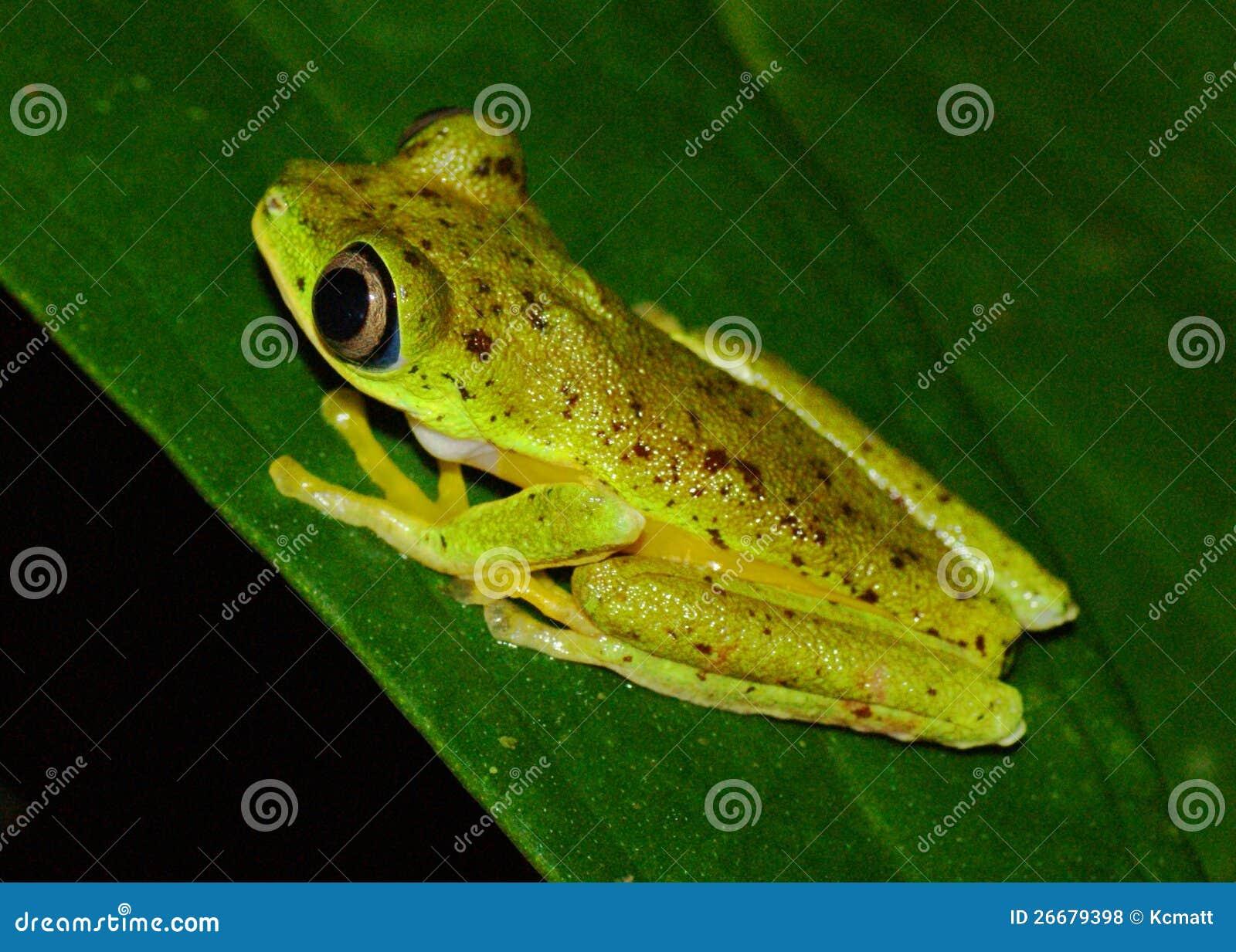 Critically endangered Lemur Leaf Frog