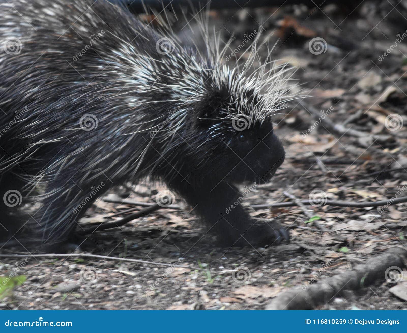 Critter sveglio dall America settentrionale con le spolette spinose