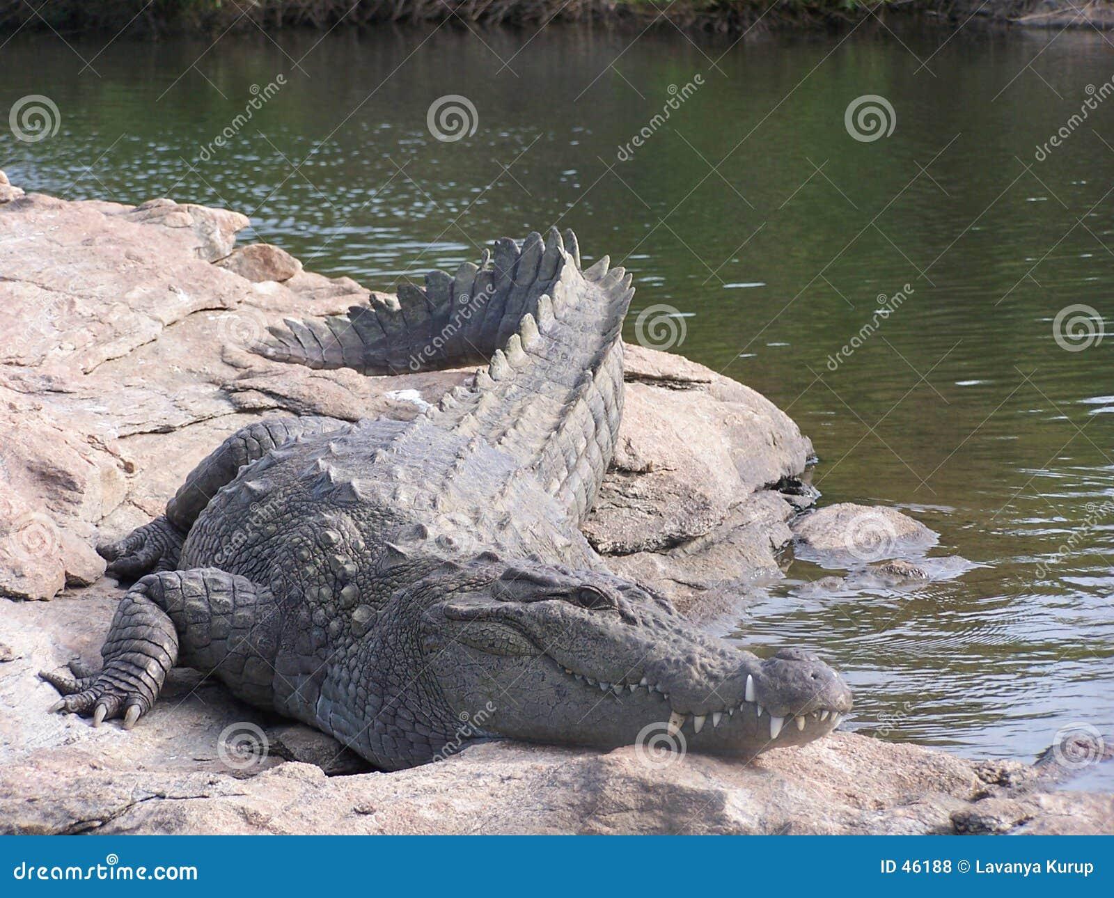 Croc salvaje