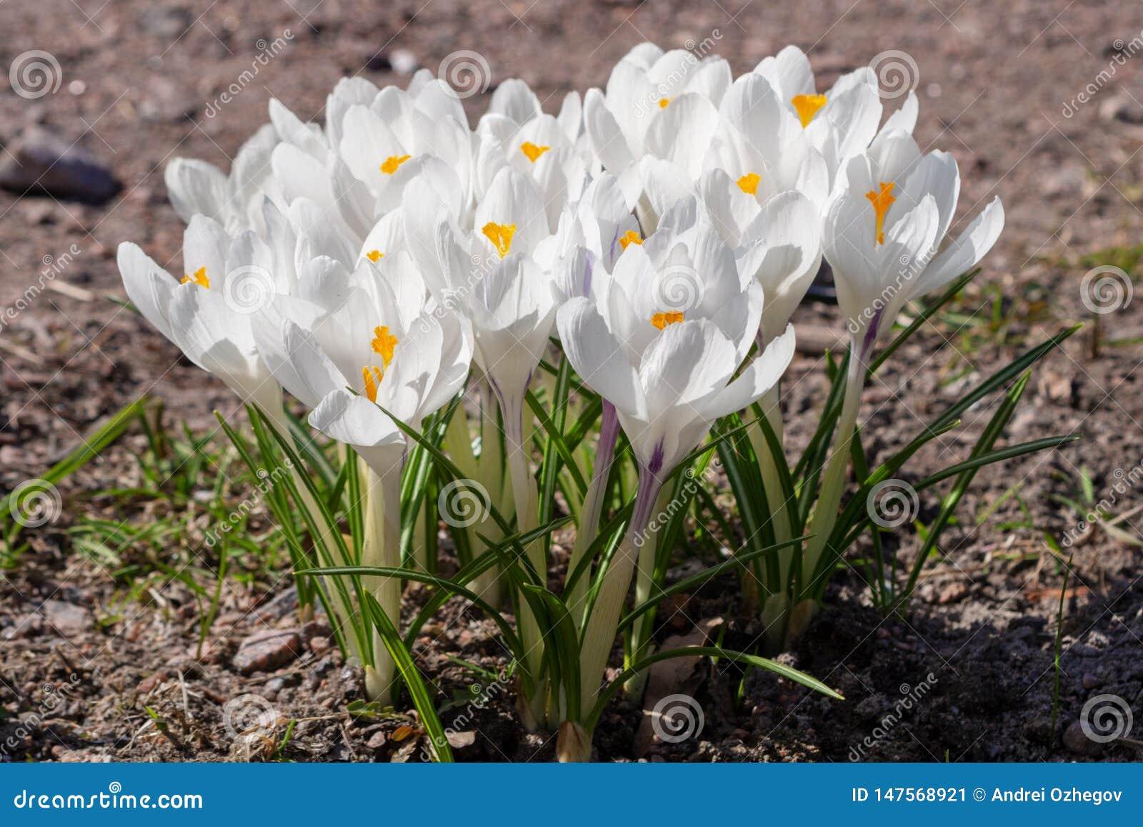 Croco bianchi che crescono sulla terra in molla in anticipo