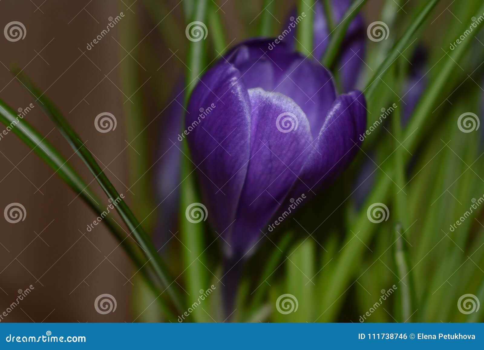 Croco che fiorisce in primavera