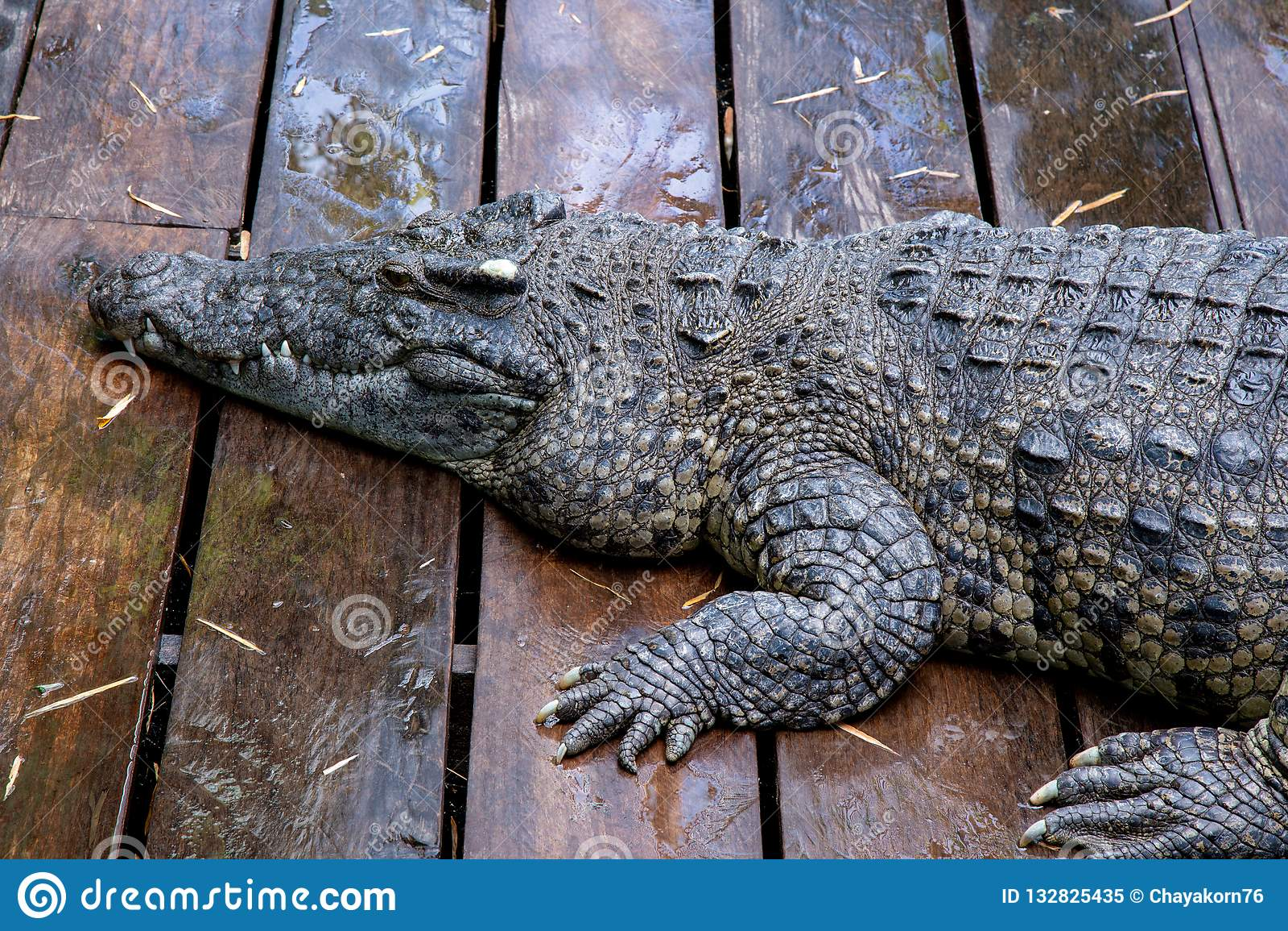 Crocodile à la ferme au Cambodge