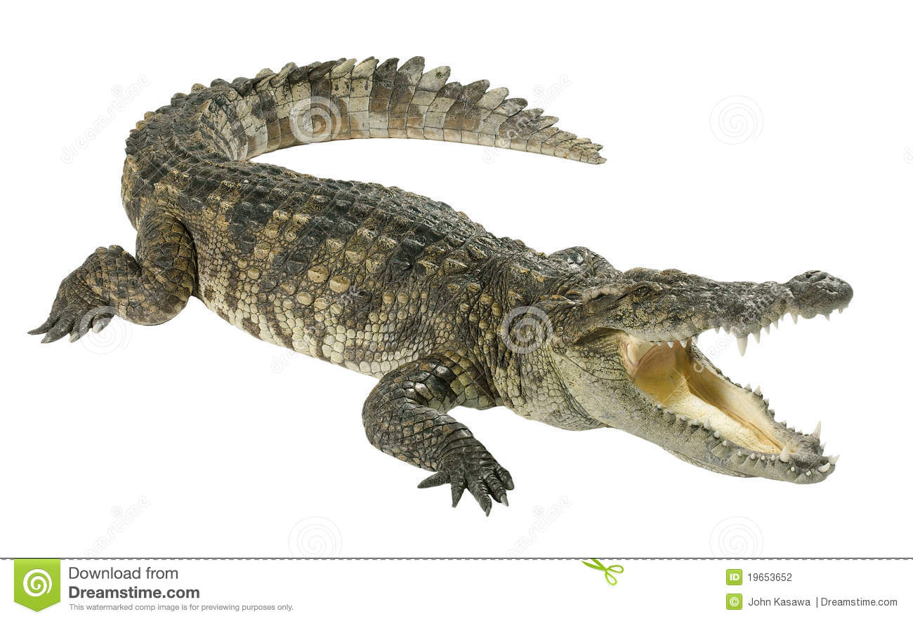 Crocodile isolated on white  Crocodile