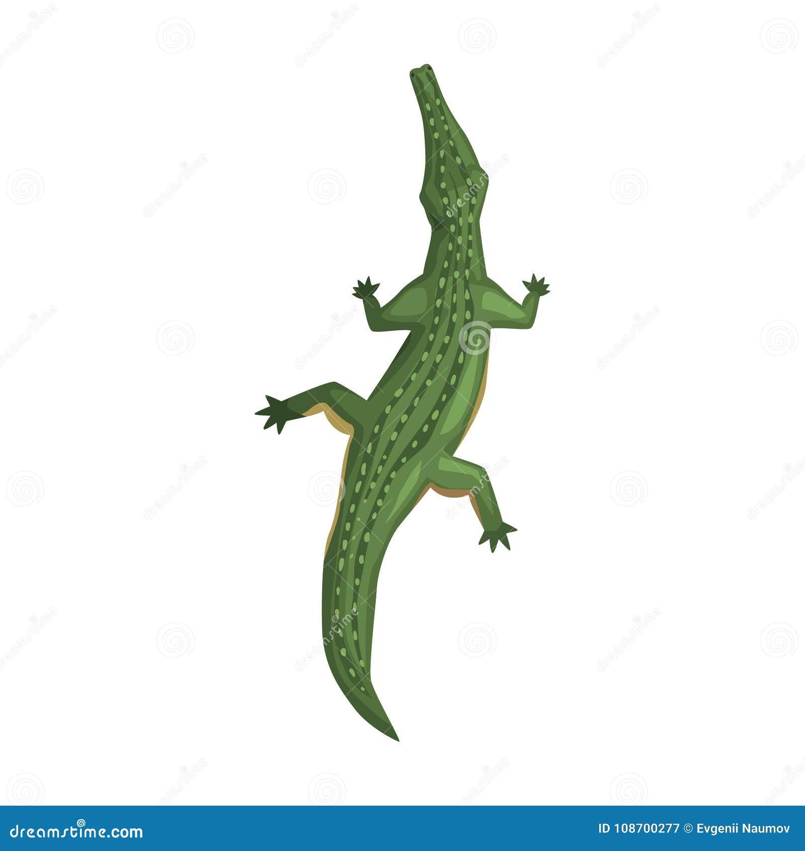 Crocodile, amphibian animal, view from above cartoon vector Illustration