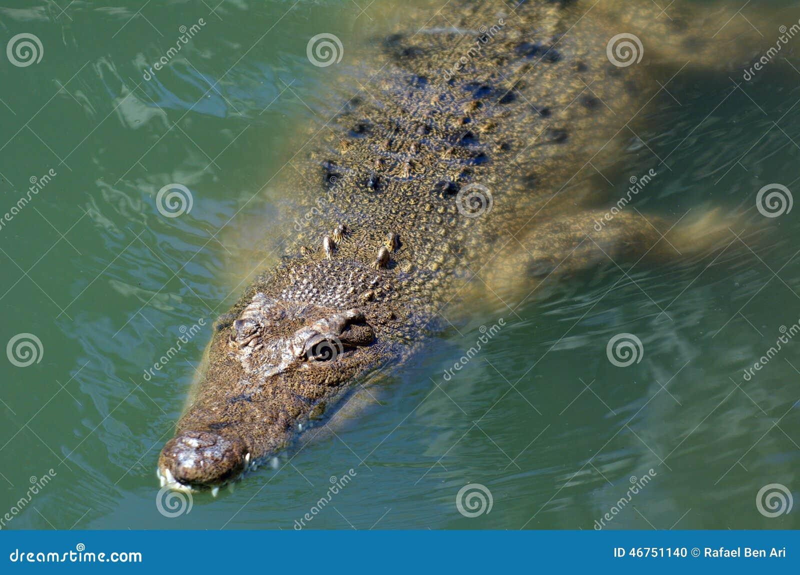 Crocodile australien d eau salée