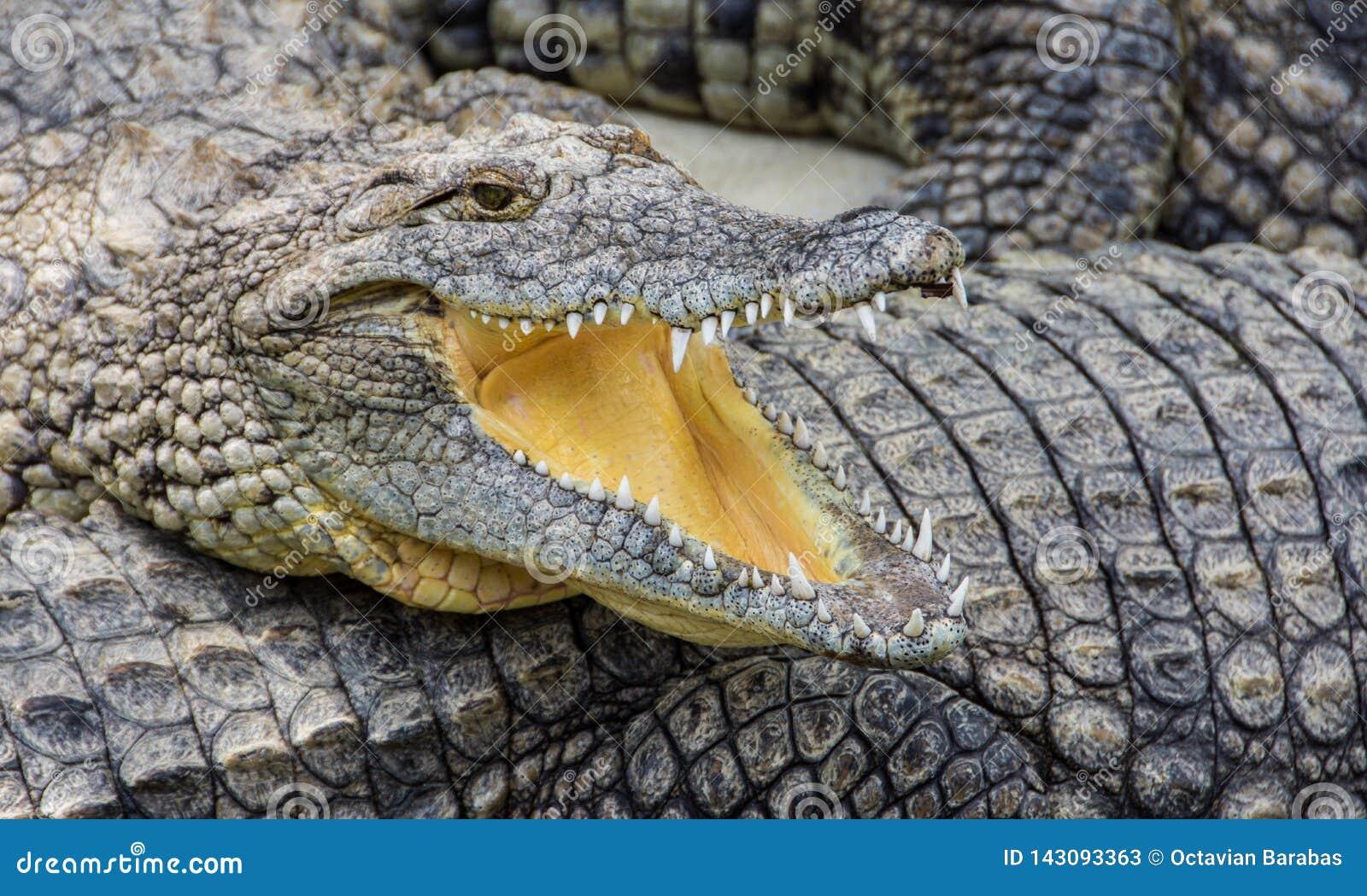 Crocodile avec la bouche ouverte