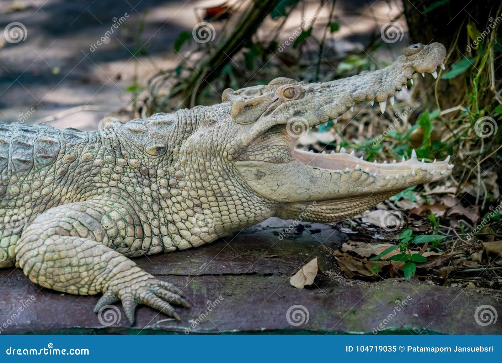 Crocodile blanc dans le zoo