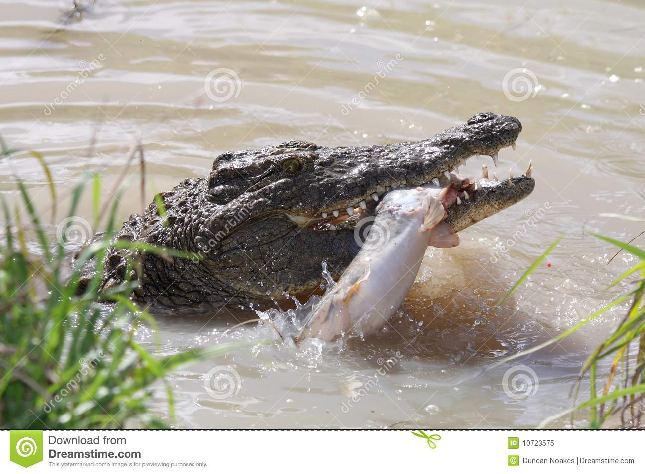 Crocodile catching fish stock image image of eating for Dreaming of eating fish