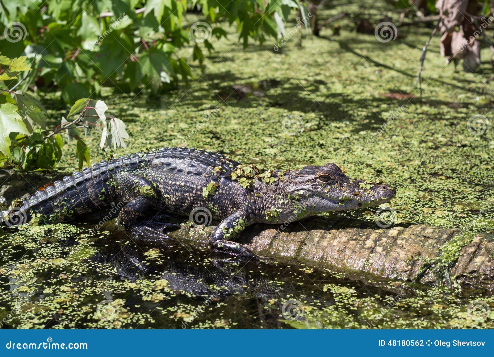 3075f3835396 Crocodile Cayman In The Reserve Stock Photo - Image of swim ...